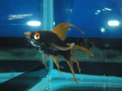 Определение и диагностика болезней у аквариумных рыб - DSC03036.JPG