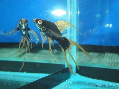 Определение и диагностика болезней у аквариумных рыб - DSC03040.JPG