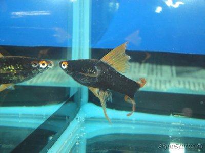 Определение и диагностика болезней у аквариумных рыб - DSC03042.JPG