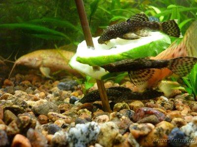 Фото аквариумных рыбок - P1190055.JPG