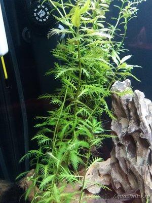 Аквариумные растения - опознание растений. - ^0D978879D8B8684C6F6485B8C6B8C4972DA8AA58B3EB443E35^pimgpsh_fullsize_distr.jpg