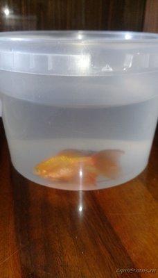 Помогите опознать рыбку опознание рыб  - 1522916375518-1745517503.jpg