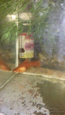 Беременна ли рыбка в аквариуме? - 20180418_182644 (1).jpg