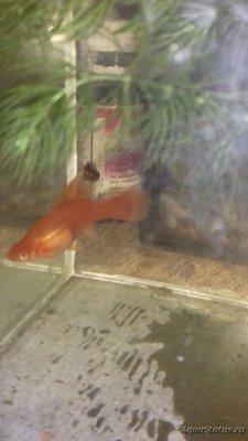 Беременна ли рыбка в аквариуме? - 20180418_182720.jpg