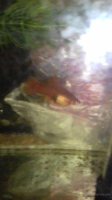 Беременна ли рыбка в аквариуме? - 20180418_182752.jpg