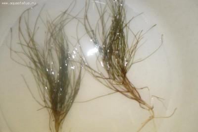 Опознание аквариумных растений - P1110630.JPG