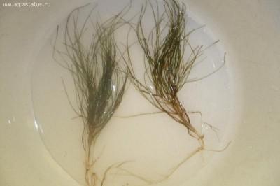 Опознание аквариумных растений - P1110633.JPG