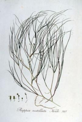 Опознание аквариумных растений - руппия.jpg