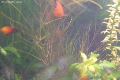 Опознание аквариумных растений - P1110641.JPG