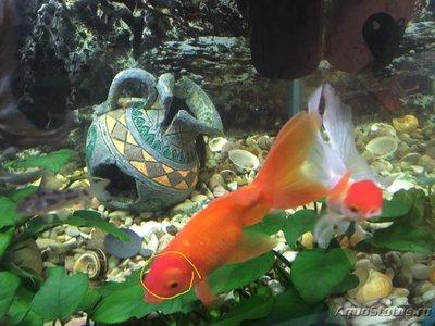 Определение и диагностика болезней у аквариумных рыб - Ozm_BXIpBJs1.jpg
