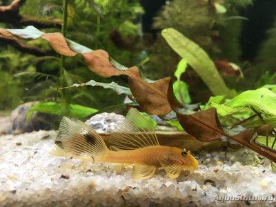 Помогите опознать рыбку опознание рыб  - IMG_4494.JPG