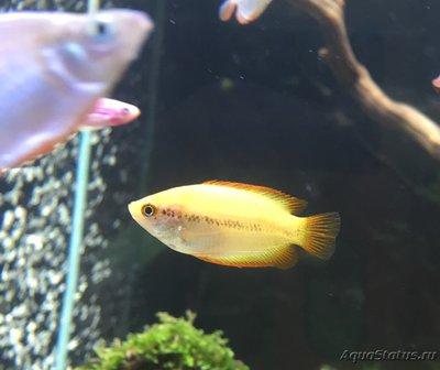 Помогите опознать рыбку опознание рыб  - IMG_4715.JPG