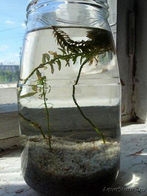 Аквариумные растения - опознание растений. - 20180614_133828.jpg