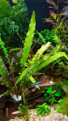 Опознание аквариумных растений - 2018-06-23 21-11-44.JPG