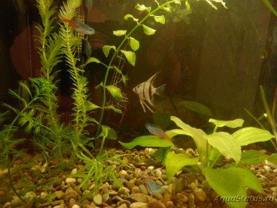 Мой аквариум на 35 литров Vvlysov  - P7104637.JPG