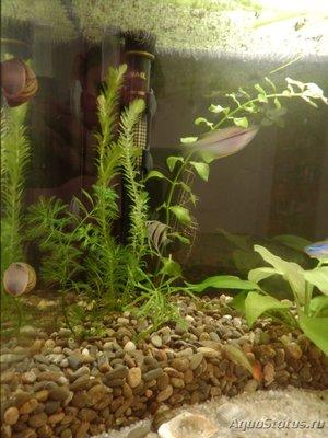 Мой аквариум на 35 литров Vvlysov  - P7104641.JPG