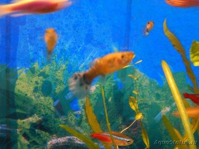 Определение и диагностика болезней у аквариумных рыб - кот и рыб 008.JPG
