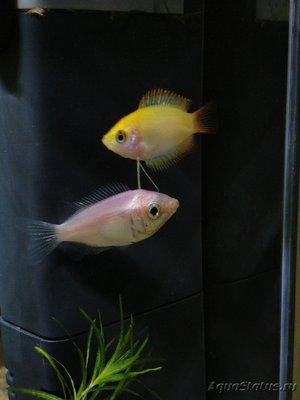 Помогите опознать рыбку опознание рыб  - IMG_20180721_231259_070.jpg