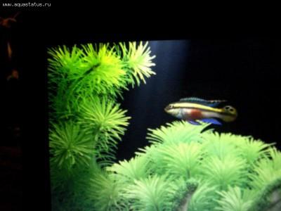 Помогите опознать рыбку опознание рыб  - DSC00801.jpg