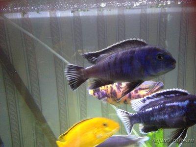 Помогите опознать рыбку опознание рыб  - IMG_0747.JPG