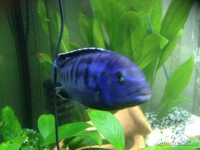 Помогите опознать рыбку опознание рыб  - IMG_0915.JPG