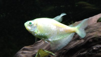 Определение и диагностика болезней у аквариумных рыб - DSCN4072.JPG