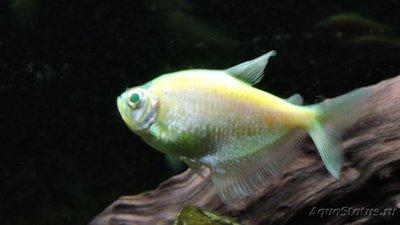 Определение и диагностика болезней у аквариумных рыб - DSCN4073.JPG