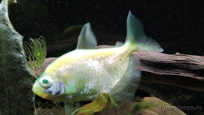 Определение и диагностика болезней у аквариумных рыб - DSCN4075.JPG