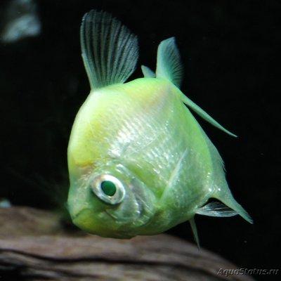 Определение и диагностика болезней у аквариумных рыб - DSCN4099.JPG