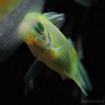 Определение и диагностика болезней у аквариумных рыб - DSCN4107.JPG
