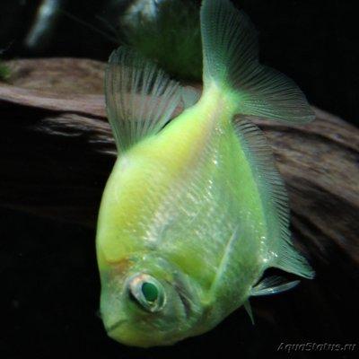 Определение и диагностика болезней у аквариумных рыб - DSCN4113.JPG