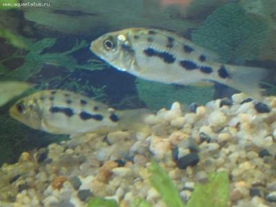 Помогите опознать рыбку опознание рыб  - IMG_7629_1.jpg
