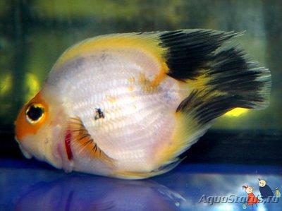 Помогите опознать рыбку опознание рыб  - Popugaj-zhelto-belyj-6-1.jpg