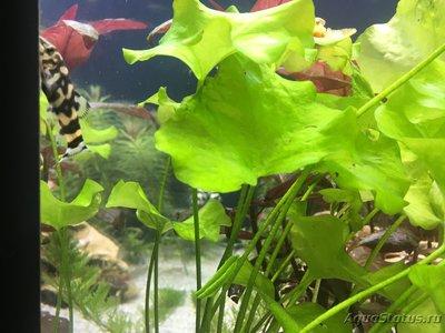 Помогите опознать рыбку опознание рыб  - IMG_7235.JPG