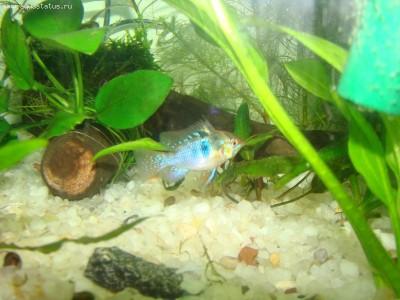 Помогите опознать рыбку опознание рыб  - DSC07363.JPG