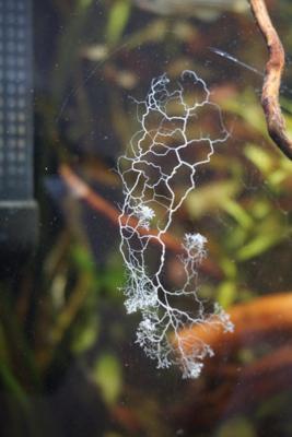 Мшанки в аквариуме - untitled1.png