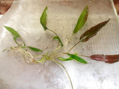 Аквариумные растения - опознание растений. - Изображение 002.jpg