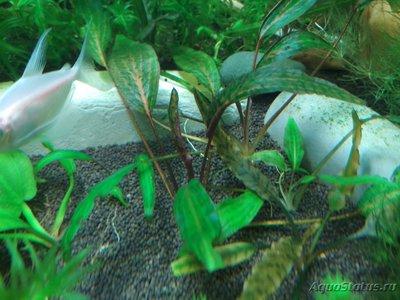 Аквариумные растения - опознание растений. - IMG_20181227_150017.jpg