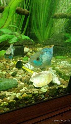 Нанакара неон отложила икру в общем аквариуме - IMAG2058.jpg
