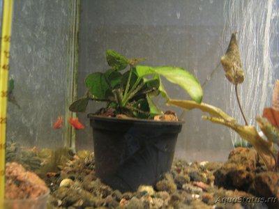 Аквариумные растения - опознание растений. - Анубиас.jpg