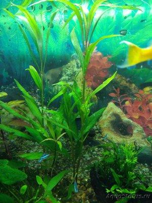 Аквариумные растения - опознание растений. - IMG_20190109_085503.jpg