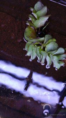 Аквариумные растения - опознание растений. - IMG_20190113_180110.jpg