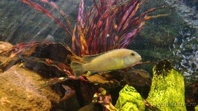 Помогите опознать рыбку опознание рыб  - WhatsApp Image 2019-01-18 at 16.13.35.jpeg