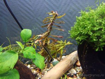 Аквариумные растения - опознание растений. - IMG_20190115_005724.jpg
