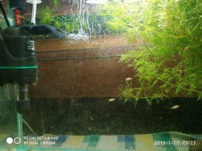 Нанакара неон отложила икру в общем аквариуме - IMG_20190123_212205.jpg