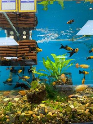 Помогите опознать рыбку опознание рыб  - F3AD3359-CFEA-4C0A-9BA2-0DD5123B95B1.jpeg