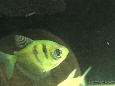 Микобактериоз или Туберкулез у аквариумных рыб - IMG_6845.JPG