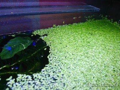 Опознание аквариумных растений - DSC_0452 (Копировать).JPG