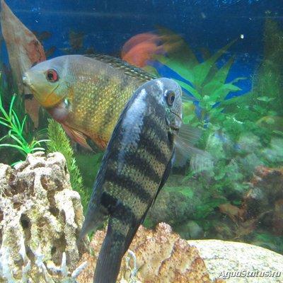 Определение и диагностика болезней у аквариумных рыб - h_1449676325_2445505_f89d760c6f.jpg