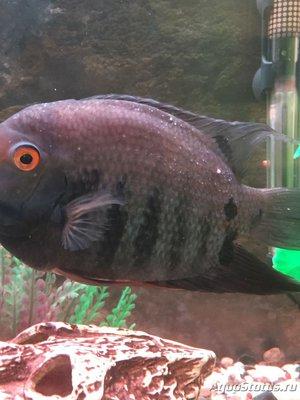 Определение и диагностика болезней у аквариумных рыб - IMG_0865.JPG